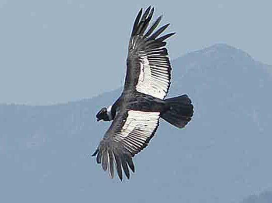 Grootste roofvogels ter wereld: Andescondor