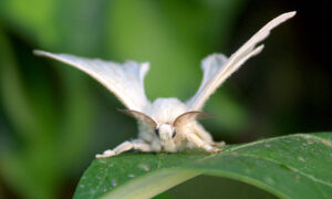 Mannelijke zijdevlinder