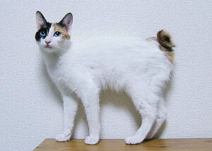 Japanse stompstaartkat