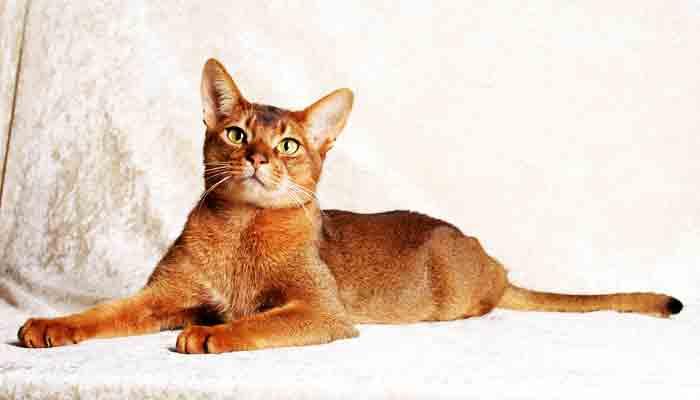Top 10 slimste kattenrassen ter wereld