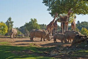 ZooParc de Beauval: Plaine africaine met neushoorns en giraffes